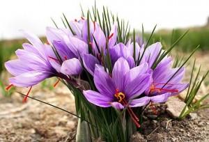 saffron plant / flower