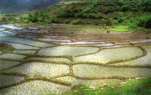 Rice-fields of Gilan, Northern Iran