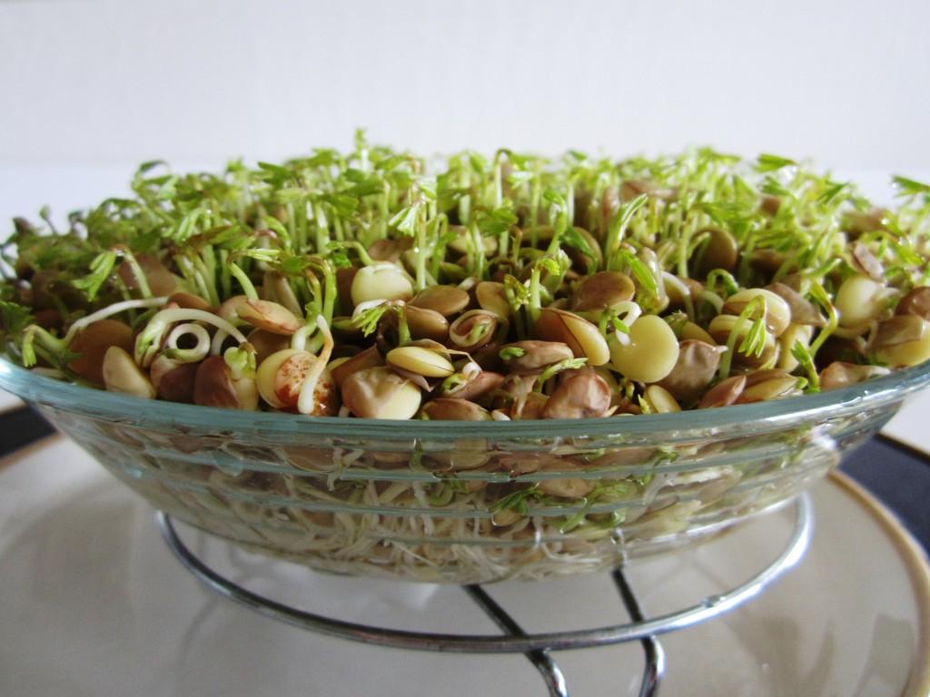 Sabzeh • سبزه • Naw-Rúz Sprouts Fae's Twist & Tango